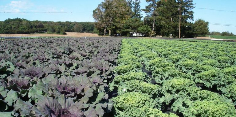 Riverside-Greenhouses-Allamuchy-NJ-Fall-Cabbage