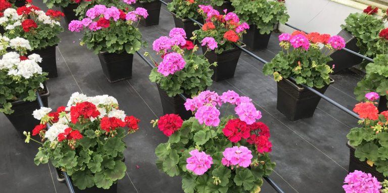Riverside-Greenhouses-Allamuchy-NJ-Geraniums
