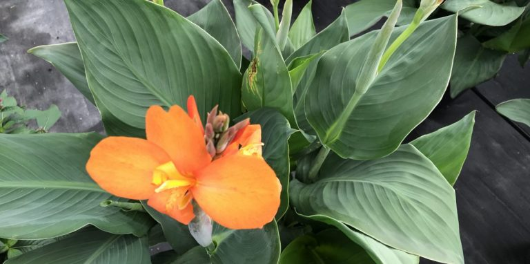 Riverside-Greenhouses-Allamuchy-NJ-Cannas