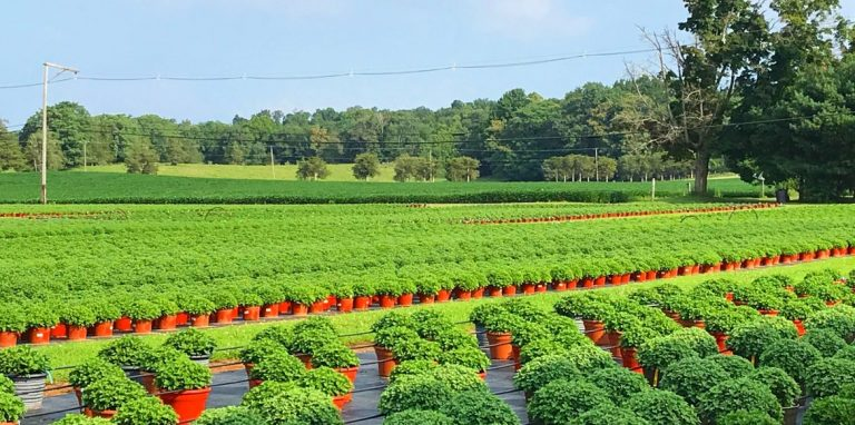 Riverside-Greenhouses-Allamuchy-NJ-Mums