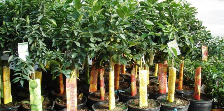 Riverside-Greenhouses-Allamuchy-NJ-Spring-Citrus-Trees