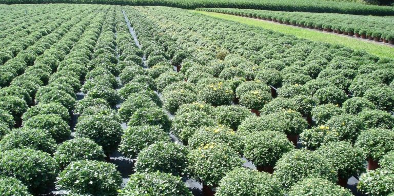 Riverside-Greenhouses-Allamuchy-NJ-Mums