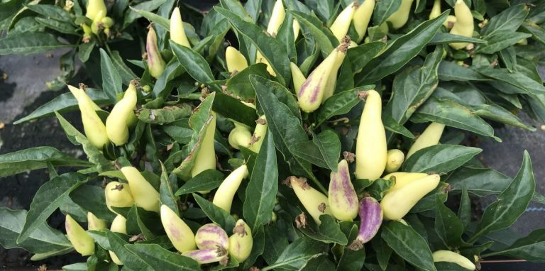 Riverside-Greenhouses-Allamuchy-NJ-Peppers