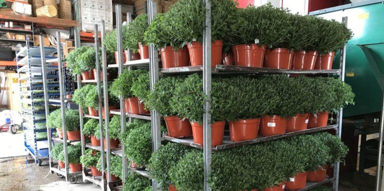 Riverside-Greenhouses-Allamuchy-NJ-Fall-Mums