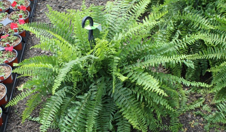 Riverside-Greenhouses-Allamuchy-NJ-Ferns