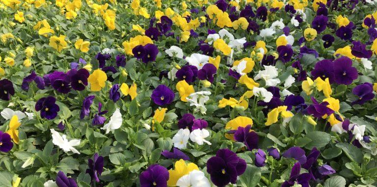 Riverside-Greenhouses-Allamuchy-NJ-Fall-Pansies
