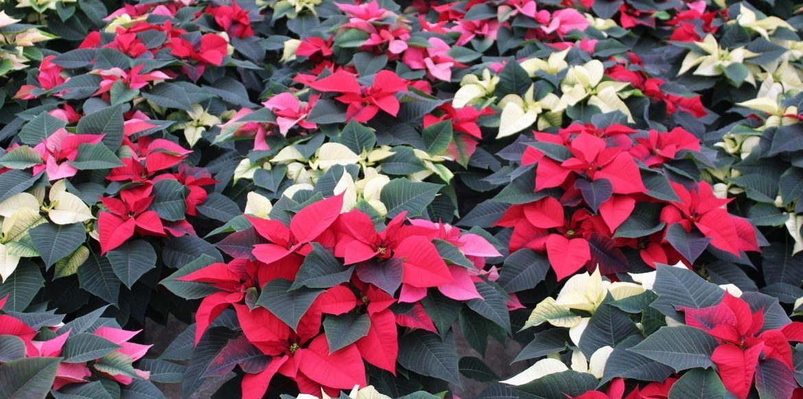 Interesting Facts About Poinsettias Riverside Greenhouses