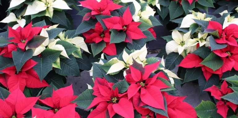 Riverside-Greenhouses-Allamuchy-NJ-Winter-Poinsettias