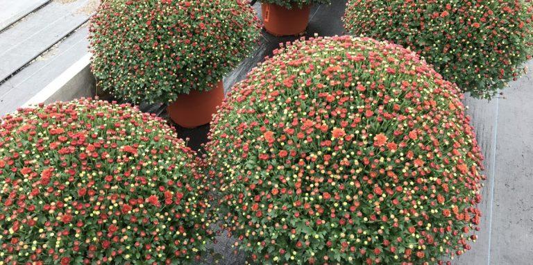 Riverside-Greenhouses-Allamuchy-NJ-Fall-12 inch Mum