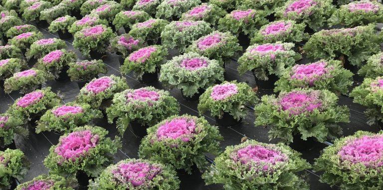 Riverside-Greenhouses-Allamuchy-NJ-Fall-Kale