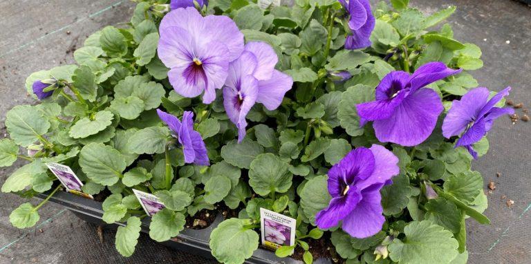 Riverside-Greenhouses-Allamuchy-NJ-Spring-Pansy