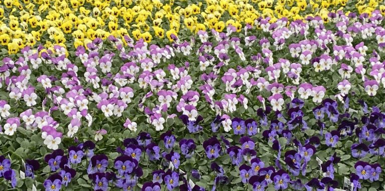 Riverside-Greenhouses-Allamuchy-NJ-Spring-Violas