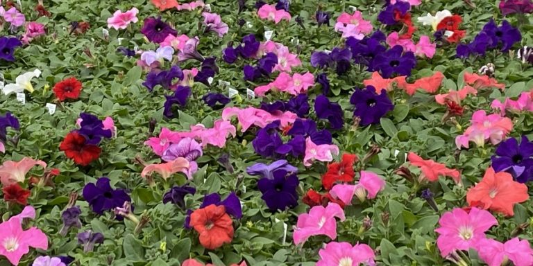 Riverside-Greenhouses-Allamuchy-NJ-Spring-Petunias