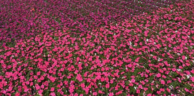 Riverside-Greenhouses-Allamuchy-NJ-Spring-Impatiens