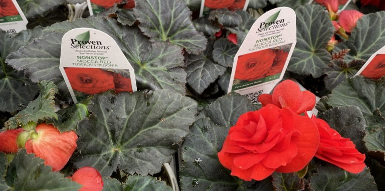 Riverside-Greenhouses-Allamuchy-NJ-Proven Winners-Begonias