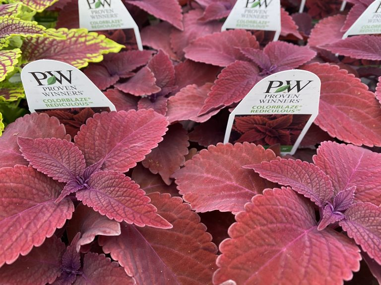Riverside-Greenhouses-Allamuchy-NJ-Proven Winners-Coleus