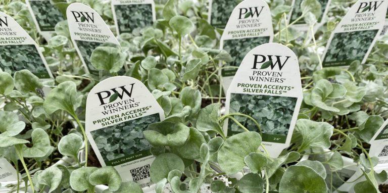 Riverside-Greenhouses-Allamuchy-NJ-Proven Winners-Dichondra