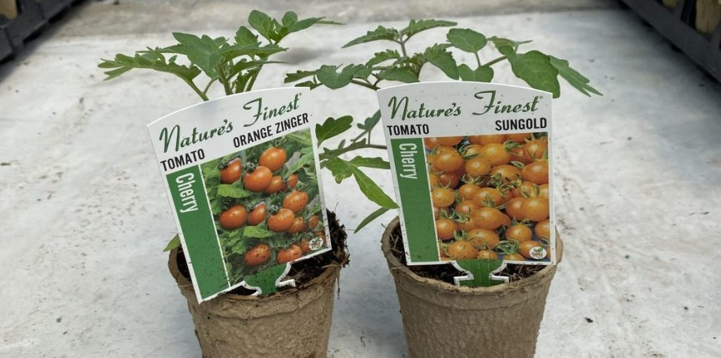 Riverside-Greenhouses-Allamuchy-NJ-Spring-Tomatoes