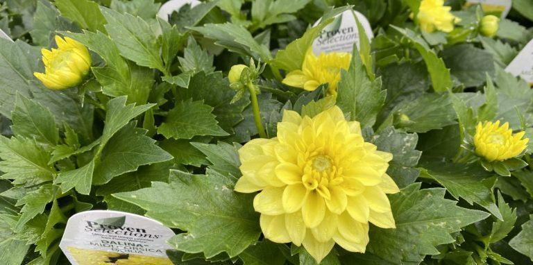 Riverside-Greenhouses-Allamuchy-NJ-Proven Winners-Dahlia