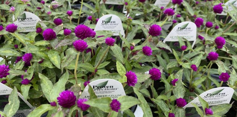 Riverside-Greenhouses-Allamuchy-NJ-Proven Winners-Gomphrena