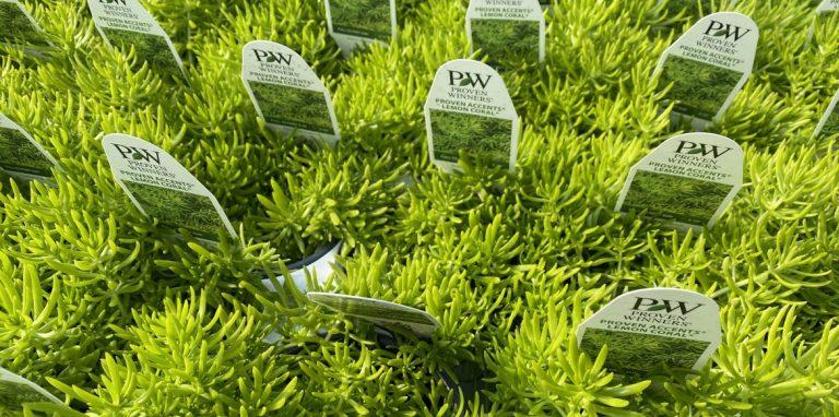 Riverside-Greenhouses-Allamuchy-NJ-Proven Winners-Sedum