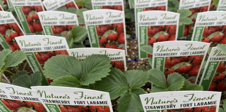 Riverside-Greenhouses-Allamuchy-NJ-Spring-Strawberries