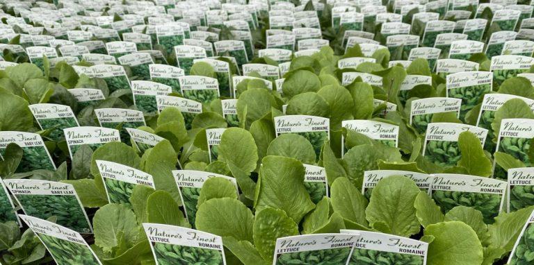 Riverside-Greenhouses-Allamuchy-NJ-Spring-Lettuce