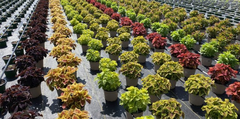Riverside-Greenhouses-Allamuchy-NJ-Fall-Coleus