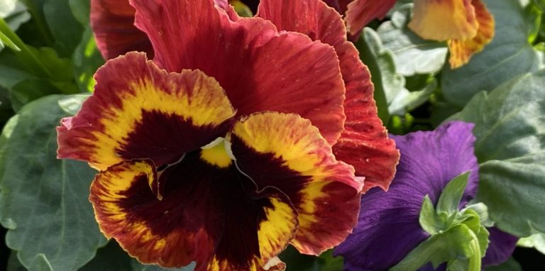 Riverside-Greenhouses-Allamuchy-NJ-Fall-Pansy
