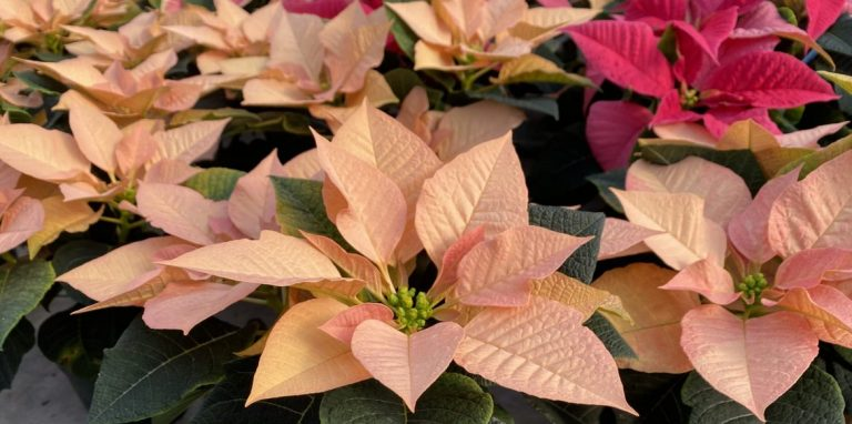 Riverside-Greenhouses-Allamuchy-NJ-Winter-Poinsettias